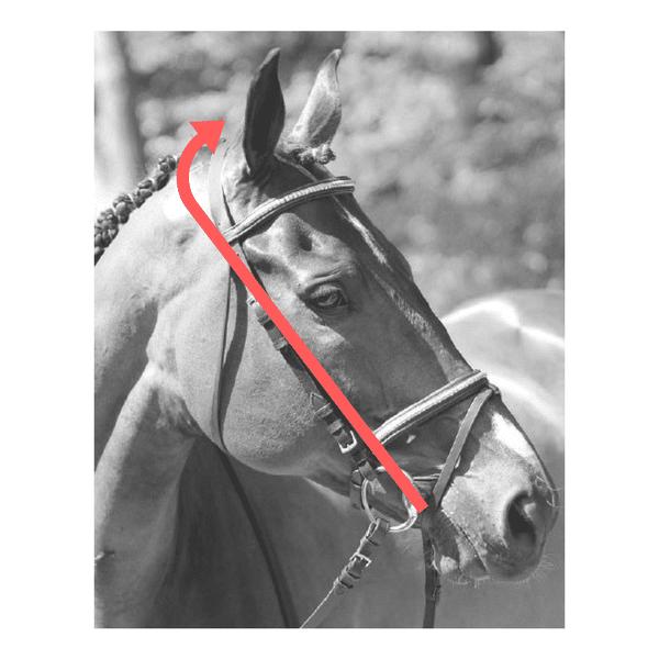 mesurer la taille de la tête du cheval