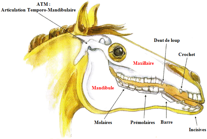 schéma tête cheval