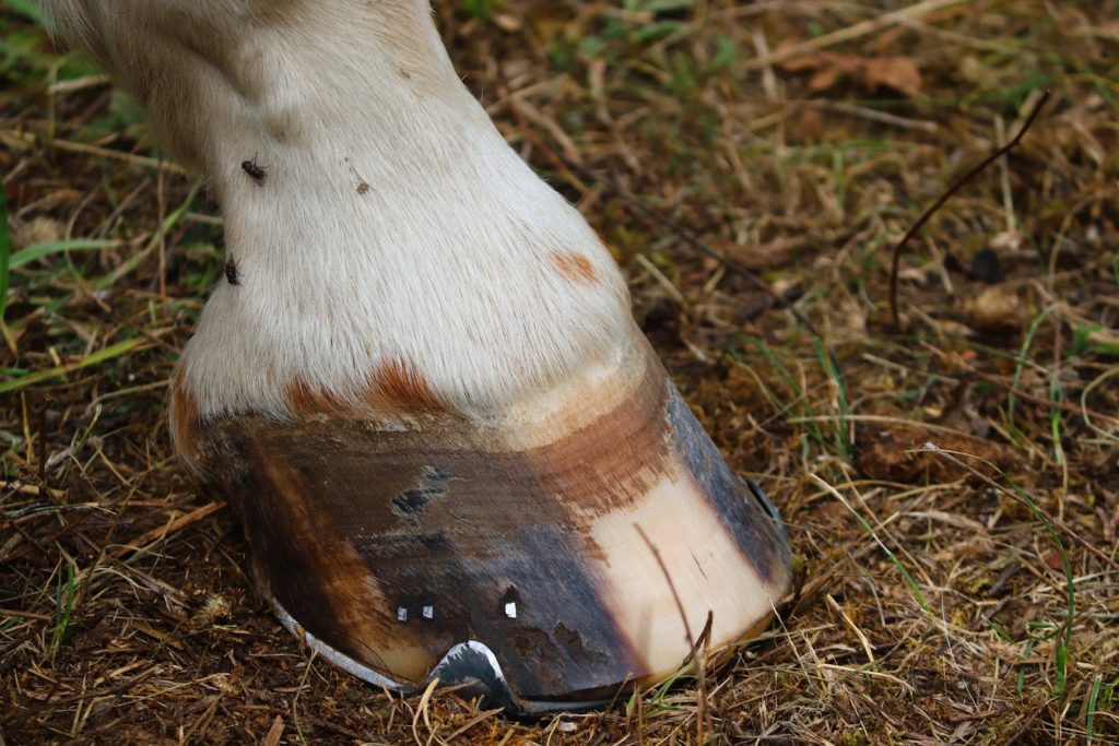 Causes des abcès chez le cheval