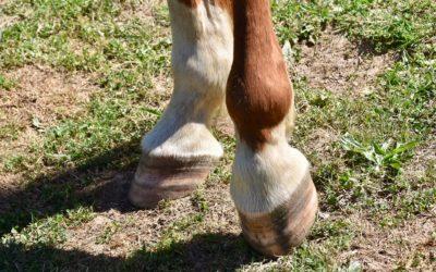 Quels soins quotidiens pour les pieds de votre cheval ?