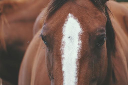 les moucherons parasites externes du cheval