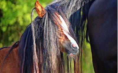 Comment créer un démêlant 100% naturel pour les crins de mon cheval ?